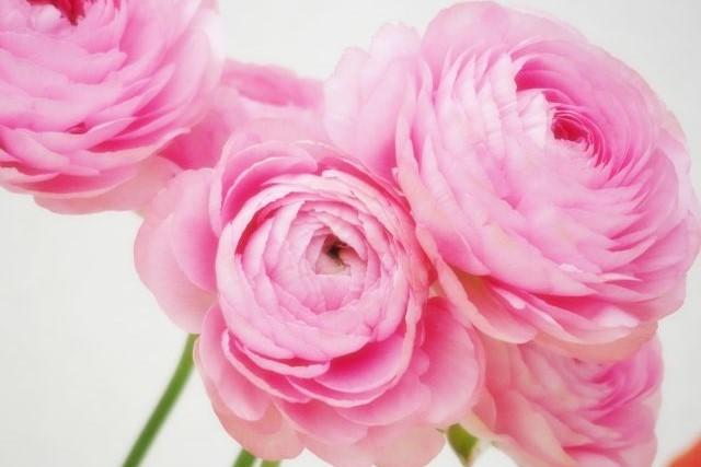 美しい花の画像: 無料ダウンロードラナンキュラス 誕生 花