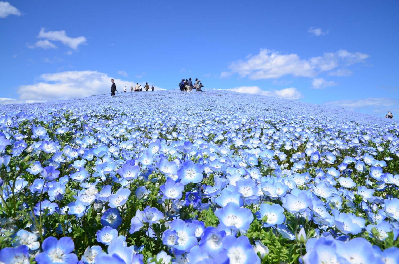 """茨城・国営ひたち海浜公園、春の絶景「ネモフィラ」約530万本の""""青い ..."""