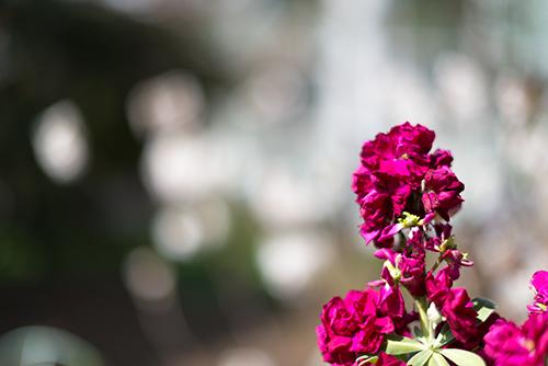 ストックの花 - フォトスク:無料のフリー高画質写真素材画像