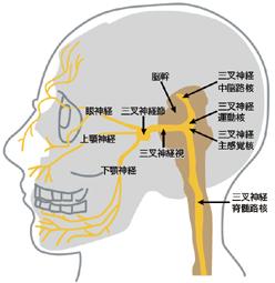 三叉神経痛の症状・鍼灸治療 | 東京都大田区/大森駅前鍼灸院