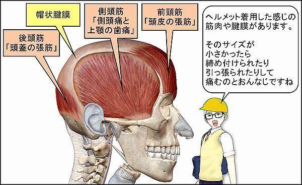 窮屈に頭を締め付けるヘルメット筋は、かぶるな!:「後頭前頭筋(前頭 ...