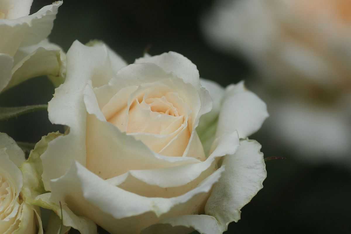 バラ:シュラブローズ系 : 花みてダンゴ
