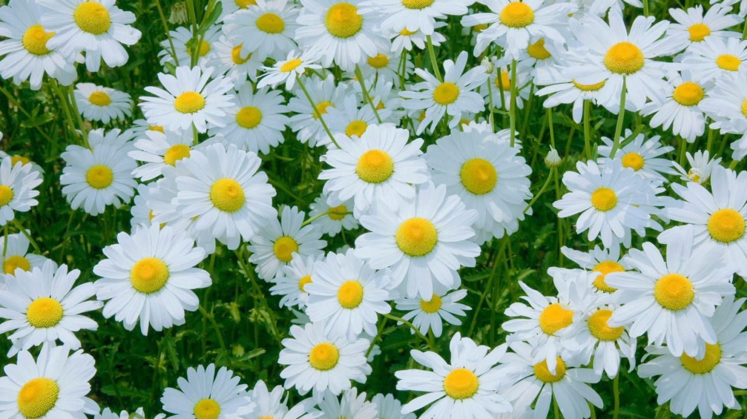 マーガレットに託したメッセージ! 花言葉や花名の由来、英語名を紹介 ...
