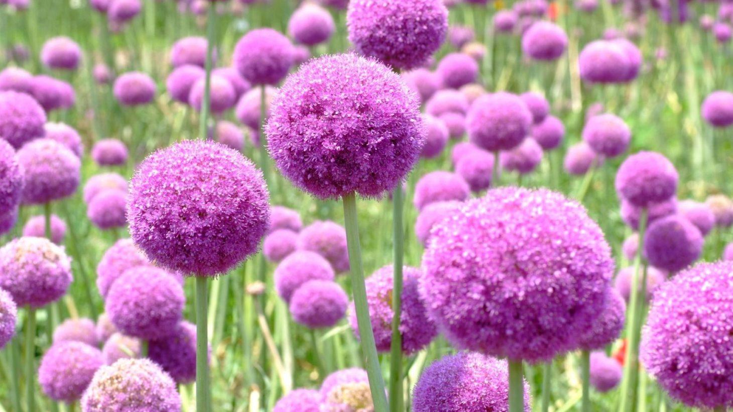 無料ダウンロードアリウム 花 - 最高の花の画像