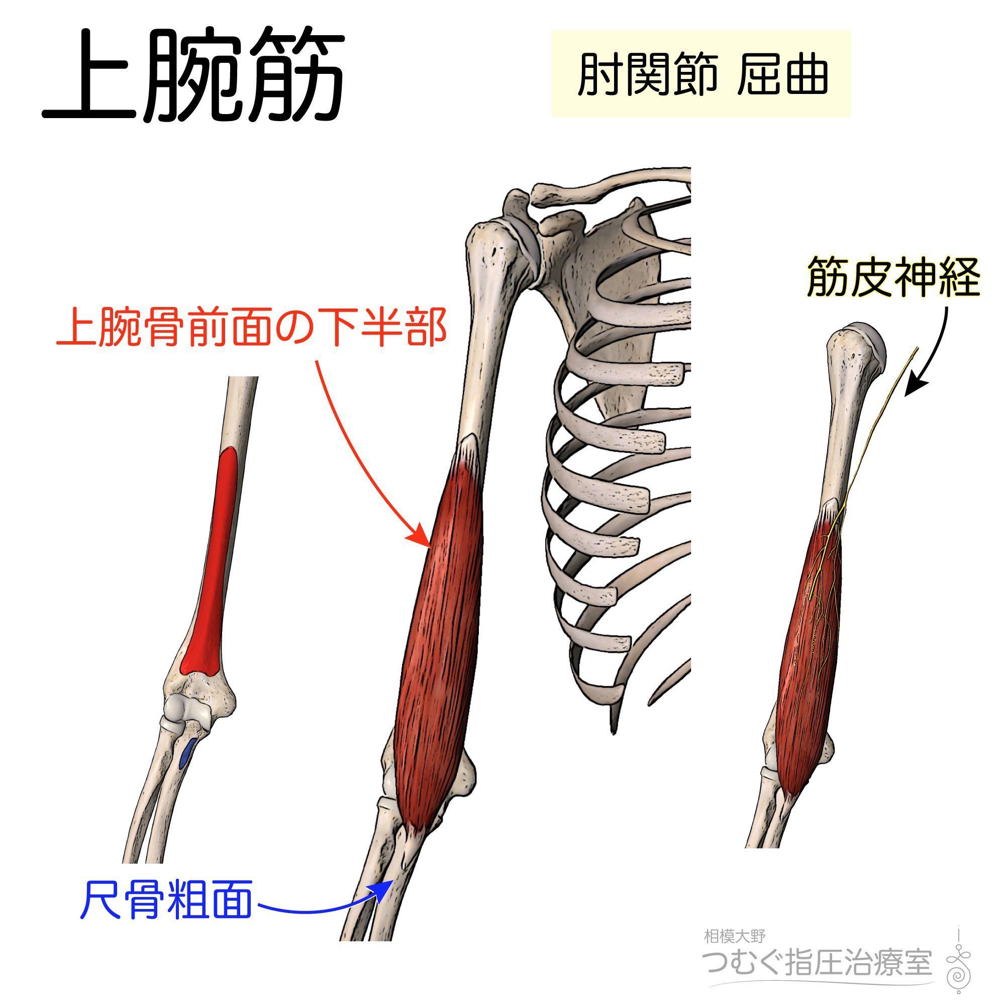 筋シリーズ】上腕筋 筋肉といれば力こぶ的な上腕二頭筋の下で地味に ...