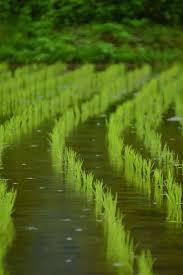 雨の田んぼ   mutea33 絶景の風景写真 地域別   田んぼ, 田舎 風景, 写真