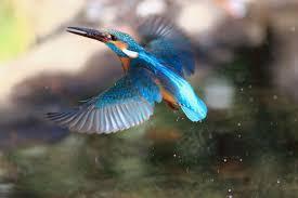 至近距離のカワセミ飛びモノ | Granpa ToshiのEOS的写真生活 ...の画像