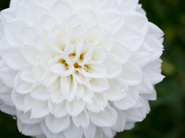 ダリア | 季節の花[淀]フリー写真素材 | ダリア, フリー 写真, 花