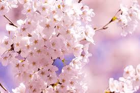 知って得する季語」──「桜・サクラ・SAKURA」(tenki.jpサプリ 2019年 ...