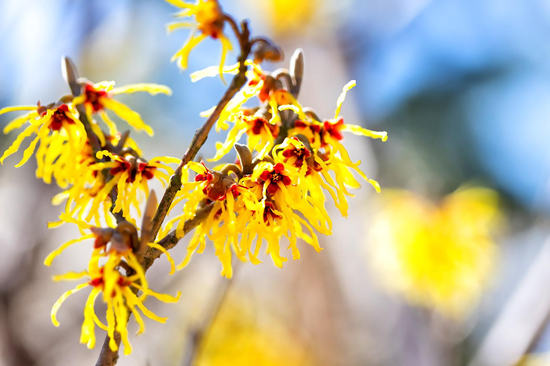 早春が旬の花、マンサク | 無料壁紙・商用利用可の画像素材ならfotoma ...