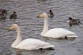 白鳥の湖ならぬ、野鳥の集まるスポット・永山新川 | asatan