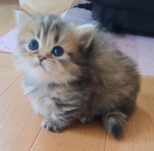品種:マンチカン(短足・ロングヘア) | 子猫のお店 アンジュ