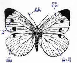 モンシロチョウ ものすごい 図鑑