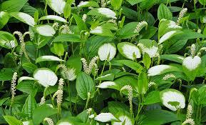 6月21日:『半夏生(はんげしょう)』の花 - 日々コレ西宮 - 西宮流 ...