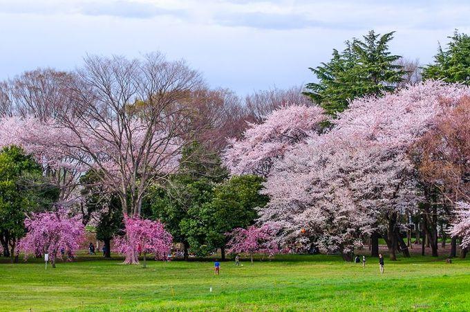 小金井公園」の桜が凄い!伝統を受け継ぐ東京多摩屈指の花見スポット ...