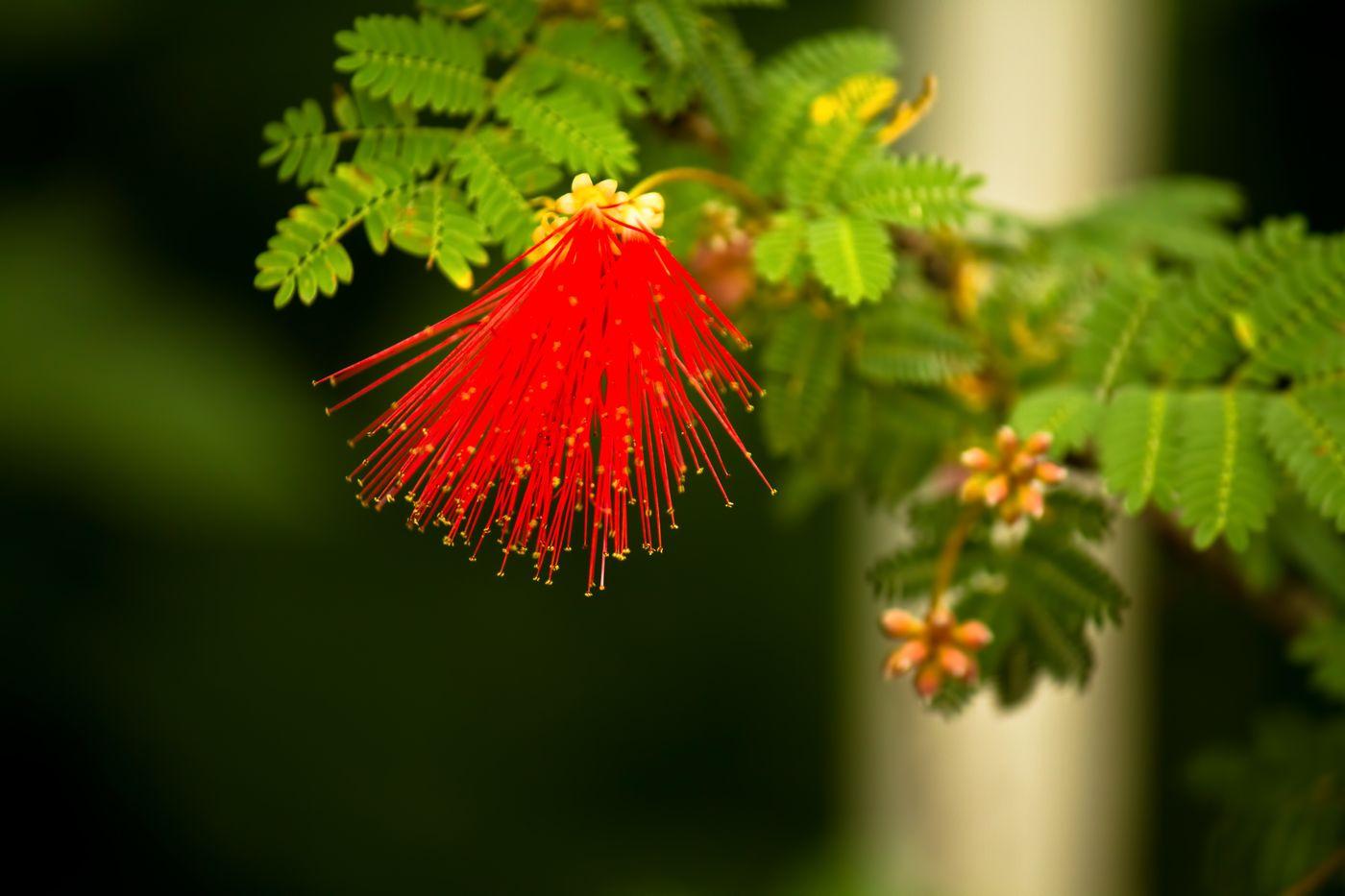 オジギソウの赤い花の写真を無料ダウンロード(フリー素材) - ぱくたそ