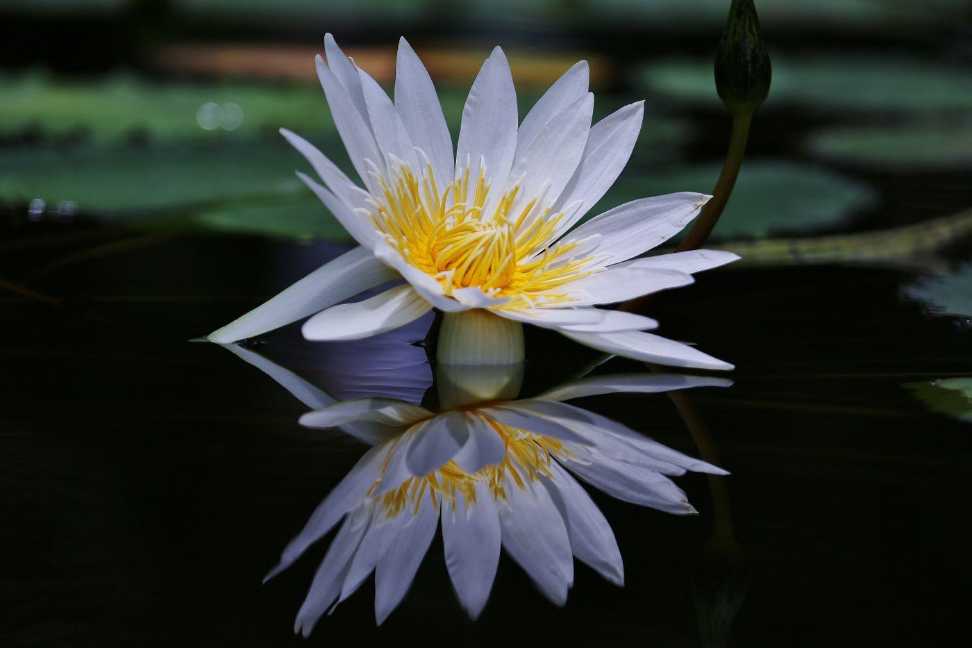 水面に反射する睡蓮の花の写真を無料ダウンロード(フリー素材 ...