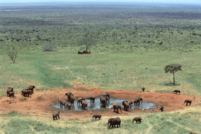 水飲み場のアフリカゾウの群れ[32258002353]の写真素材・イラスト素材 ...