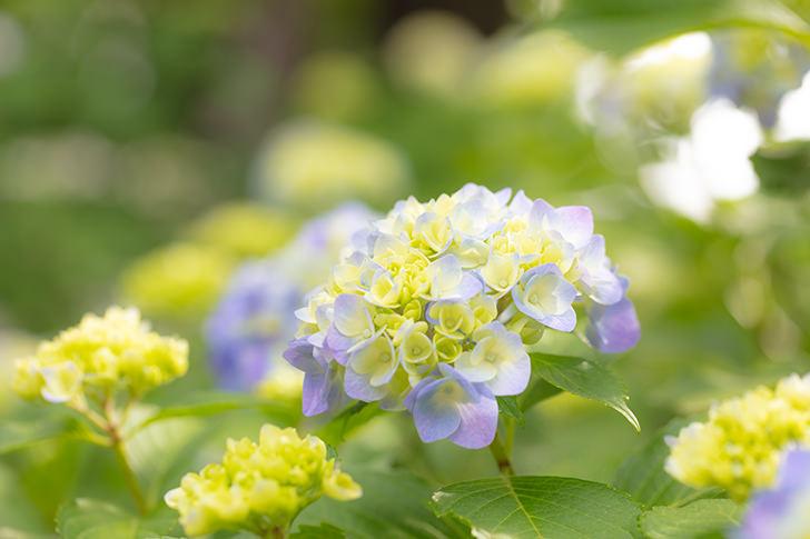 あじさい(紫陽花)の商用利用可フリー写真素材6136   フォトック