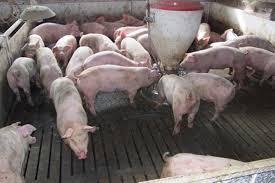 拡大する豚コレラ「一分一秒でも早くワクチンを打つべきだ」 WEDGE ...