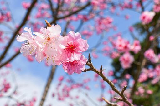 寒緋桜の写真素材 写真素材なら「写真AC」無料(フリー)ダウンロードOK