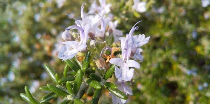 ローズマリーの花の写真素材|写真素材なら「写真AC」無料(フリー ...