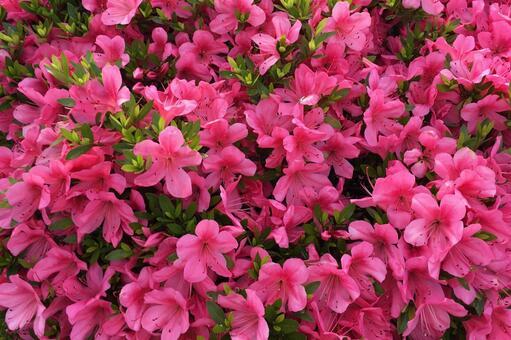 サツキの花の写真素材|写真素材なら「写真AC」無料(フリー ...