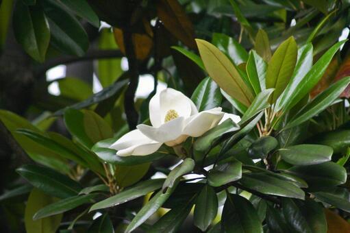 泰山木の写真素材|写真素材なら「写真AC」無料(フリー)ダウンロードOK