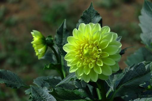 菊の花の写真素材|写真素材なら「写真AC」無料(フリー)ダウンロードOK