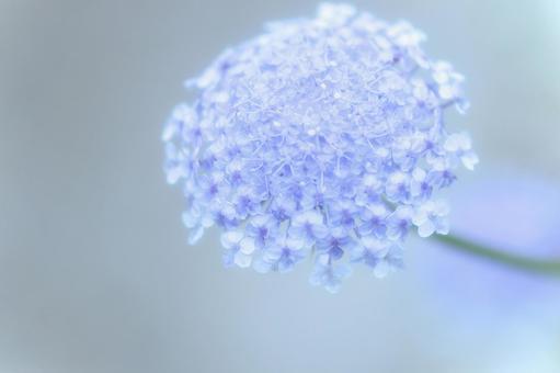ブルーレースフラワーの写真素材|写真素材なら「写真AC」無料(フリー ...