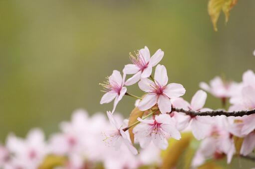 山桜の写真素材|写真素材なら「写真AC」無料(フリー)ダウンロードOK