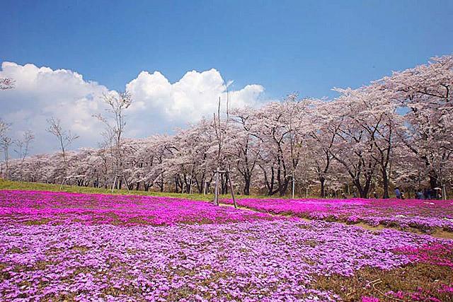 赤城南面千本桜 | 群馬県前橋市苗ケ島町のお花見スポット