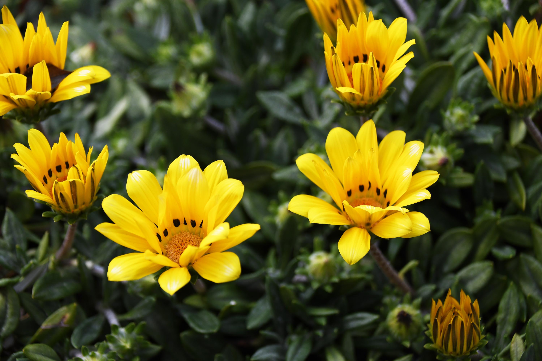 ガザニアの花の無料写真(フリー素材) | Creators Photo(クリエイターズ ...