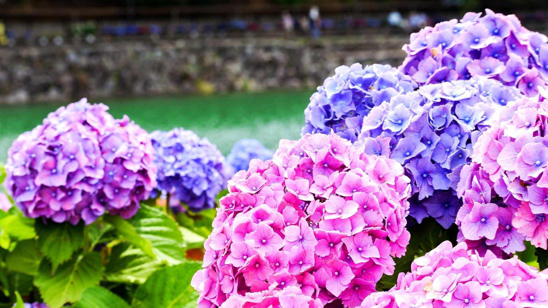 梅雨時の絶景。日本各地の「紫陽花(アジサイ)名所」11選 - TRiP EDiTOR