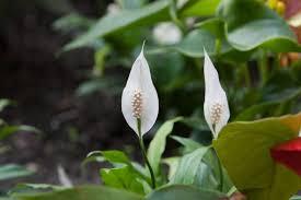 スパティフィラムの花の写真素材 写真素材なら「写真AC」無料(フリー ...