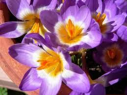花サフランの写真素材 写真素材なら「写真AC」無料(フリー ...