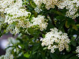 ピラカンサの花の写真素材 写真素材なら「写真AC」無料(フリー ...