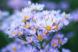 シオンの花の写真素材|写真素材なら「写真AC」無料(フリー ...