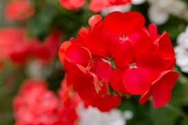 赤いゼラニウムの写真素材|写真素材なら「写真AC」無料(フリー ...
