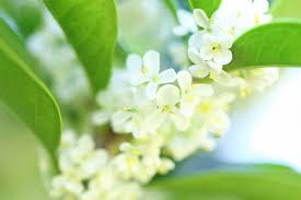 柊の花の写真素材|写真素材なら「写真AC」無料(フリー)ダウンロードOK