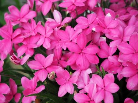 アッツ桜の写真素材|写真素材なら「写真AC」無料(フリー)ダウンロードOK