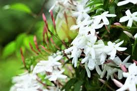 ジャスミンの花の写真素材|写真素材なら「写真AC」無料(フリー ...