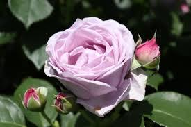 紫のバラの写真素材 写真素材なら「写真AC」無料(フリー)ダウンロードOK