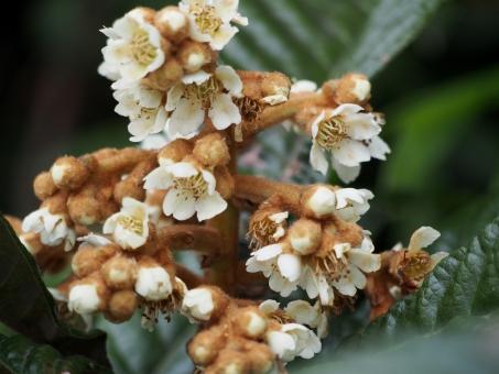 びわの木の写真素材|写真素材なら「写真AC」無料(フリー)ダウンロードOK