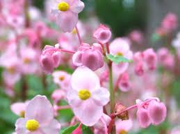 秋海棠の写真素材|写真素材なら「写真AC」無料(フリー)ダウンロードOK