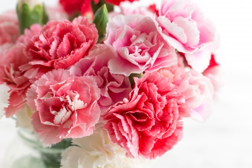 ピンクのカーネーションの写真素材|写真素材なら「写真AC」無料 ...