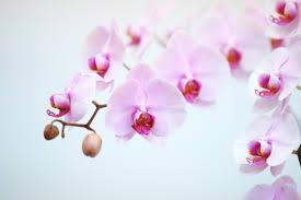 胡蝶蘭の写真素材|写真素材なら「写真AC」無料(フリー)ダウンロードOK