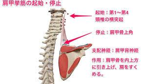 """かずひろ先生 なるほど解剖学 on Twitter: """"『肩甲挙筋の起始・停止 ..."""
