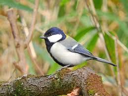 シジュウカラの生態!鳴き声や飼い方など13つのポイント!   世界の鳥 ...の画像