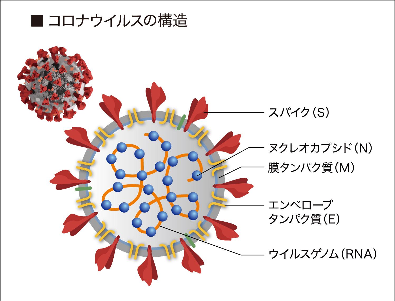 コロナウイルスの構造と複製サイクル(ライフサイクル)|城西国際大学